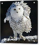 Dance Of Glory - Snowy Owl Acrylic Print