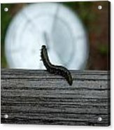 Dance Of The Caterpillar Acrylic Print
