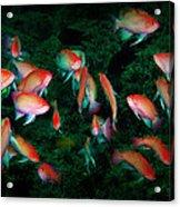 Dancing Anthias Acrylic Print