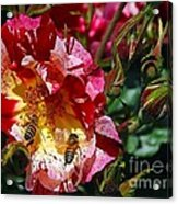 Dancing Bees And Wild Roses Acrylic Print