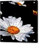 Dancing Daisy Acrylic Print