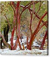 Dancing Manzanitas On The Hillside In Park Sierra-california Acrylic Print