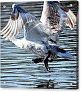 Dancing Swan Acrylic Print