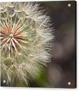 Dandelion Art - So It Begins - By Sharon Cummings Acrylic Print