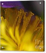 Dandelion Bloom Macro Acrylic Print