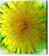 Dandelion Blossom Acrylic Print