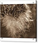 Dandelion Burst Sepia Acrylic Print