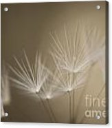 Dandelion Close-up View Backlit Acrylic Print