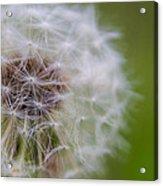 ...dandelion Acrylic Print