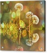 Dandelion Delight Acrylic Print
