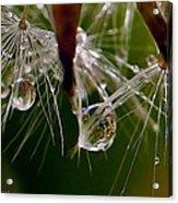 Dandelion Droplets Acrylic Print