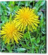 Dandelion Flowers Are Beautiful. Acrylic Print