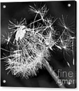 Dandelion Glow Acrylic Print