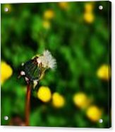 Dandelion In Spring Acrylic Print by John Magnet Bell