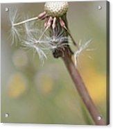 Dandelion Last To Fly Away Acrylic Print