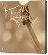 Dandelion Last To Fly Away Sepia Acrylic Print