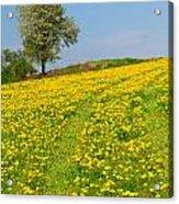 Dandelion Meadow And Alone Tree  Acrylic Print