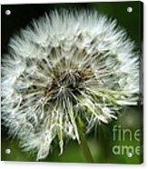 Dandelion Ready Acrylic Print