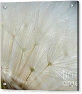 Dandelion Seed Head Macro II Acrylic Print