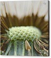 Dandelion Seed Macro Acrylic Print