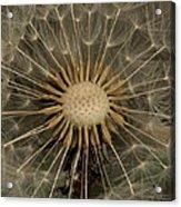 Dandelion Seed Pod Acrylic Print by Elery Oxford