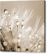 Dandelion Seed With Water Droplets In Sepia Acrylic Print by Natalie Kinnear
