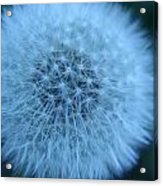 Dandelion Softness Acrylic Print