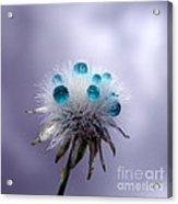 Dandelion Tears Acrylic Print