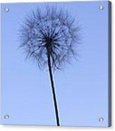 Dandelion  Acrylic Print by Tony Cordoza