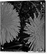 Dandelion Weeds? B/w Acrylic Print