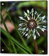 Dandelion Will Make You Wise Acrylic Print