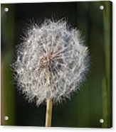Dandelion With Abstract Grasses Acrylic Print
