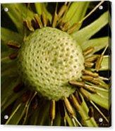 Dandelion With Seeds Acrylic Print