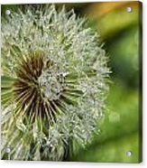 Dandelion With Water Drops Acrylic Print
