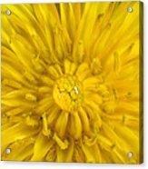 Dandelion With Waterdrop Acrylic Print