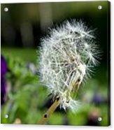 Dandelions Acrylic Print