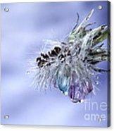 Dandy Tears Acrylic Print