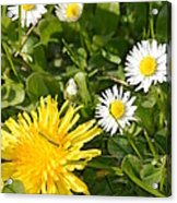 Dandy With The Daisies Acrylic Print