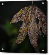 Dangling Dark Sweetgum Acrylic Print