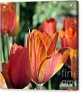 Darby's Tulip 5161 Acrylic Print