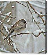 Dark-eyed Junco Or Snowbird - Junco Hyemalis Acrylic Print