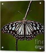 Dark Glassy Tiger Butterfly On Branch Acrylic Print