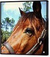 Dark Horse Acrylic Print by Chasity Johnson