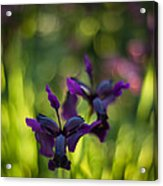 Dark Irises Acrylic Print