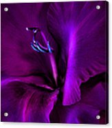 Dark Knight Purple Gladiola Flower Acrylic Print by Jennie Marie Schell