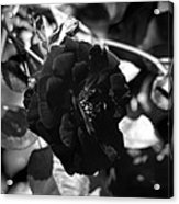 Dark Rose In Black And White Acrylic Print