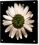 Dark Side Of A Daisy Square Acrylic Print