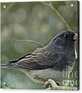 Darkeyed Junco  Acrylic Print