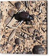 Darkling Beetle And Moqui Marbles Acrylic Print