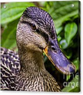 Darling Duck Acrylic Print